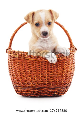 Puppy in a basket isolated on a white background. - stock photo