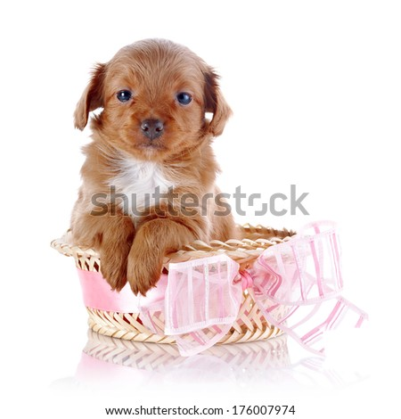 Puppy in a basket. Puppy in a wattled basket with a bow. Puppy of a decorative doggie. Decorative dog. Puppy of the Petersburg orchid on a white background - stock photo