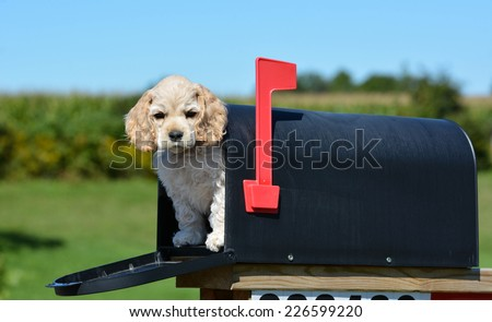 puppy in a mailbox - american cocker spaniel puppy - 8 weeks old - stock photo