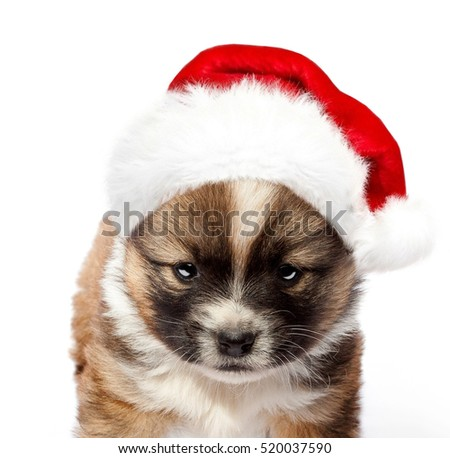 puppy in a red Santa hat. Merry Christmas. Happy New Year. Isolated on white background.