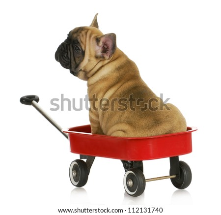 puppy in a wagon - french bulldog sitting in a red wagon - eight weeks old - stock photo