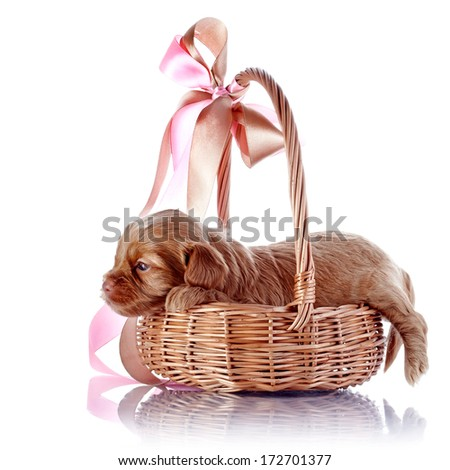 Puppy in a wattled basket with a bow. Puppy of a decorative doggie. Decorative dog. Puppy of the Petersburg orchid on a white background