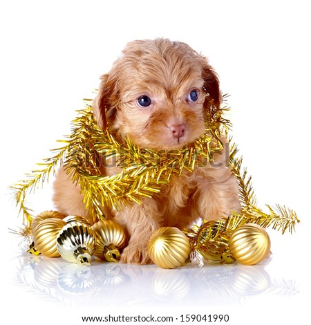 Puppy in a wattled basket with New Year's balls. Puppy of a decorative doggie. Decorative dog. Puppy of the Petersburg orchid on a white background - stock photo