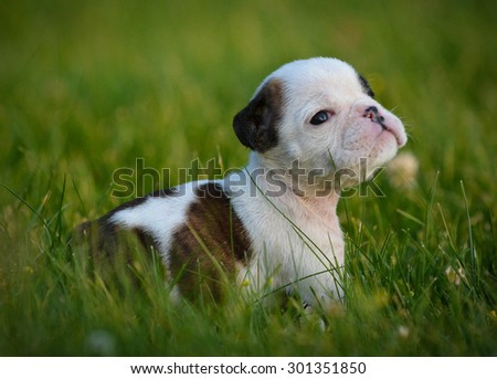 puppy in the grass - bulldog 6 weeks old  - stock photo