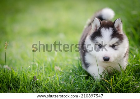 Puppy  In the grass with copyspace on the left