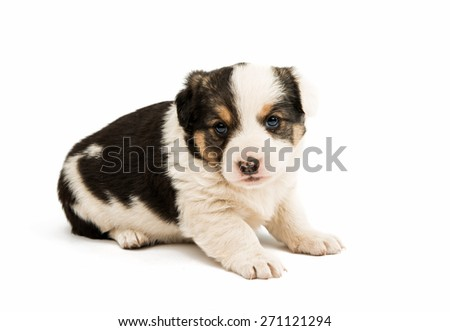 puppy isolated on a white background