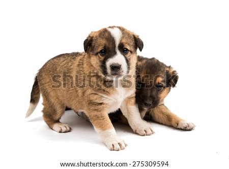 puppy isolated on a white background - stock photo