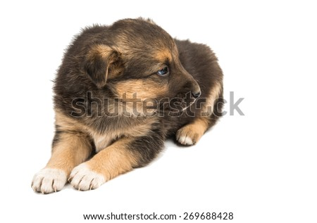 puppy isolated on white background - stock photo