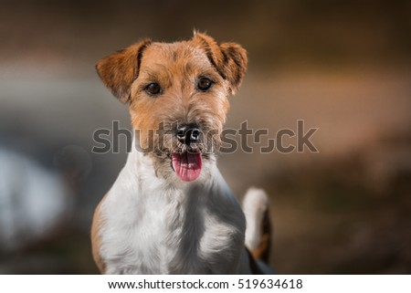Puppy jack russel/Jack russel terrier/play with dog