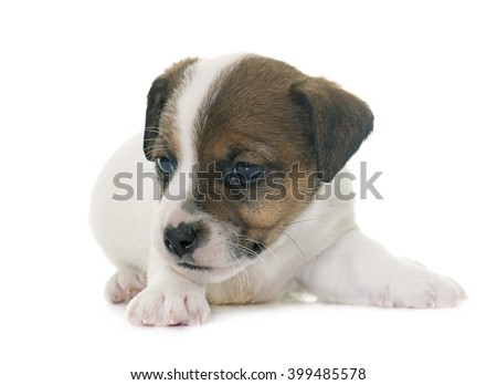 puppy jack russel terrier in front of white background