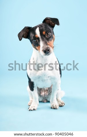 Puppy jack russell isolated on light blue background