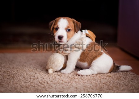 puppy Jack Russell Terrier, dog, portrait on a studio background - stock photo