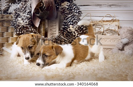 Puppy Jack Russell Terrier in Christmas interior