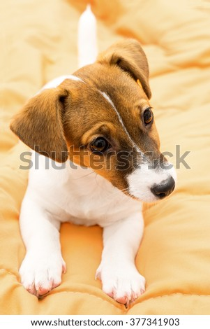 Puppy Jack Russell Terrier lying on the bed