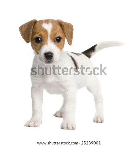 Puppy Jack russell (7 weeks) in front of a white background - stock photo