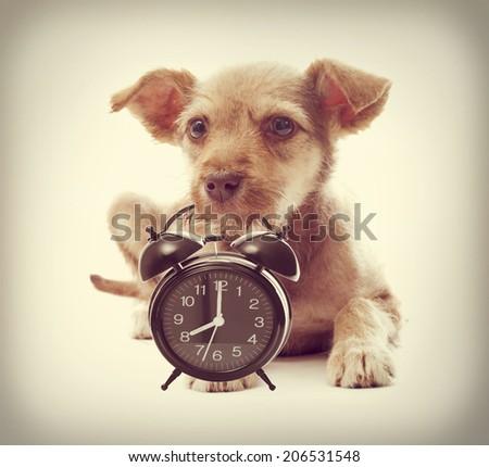 Puppy keeps teeth alarm clock - stock photo
