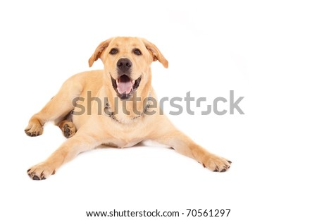 Puppy Labrador retriever cream in front of white background