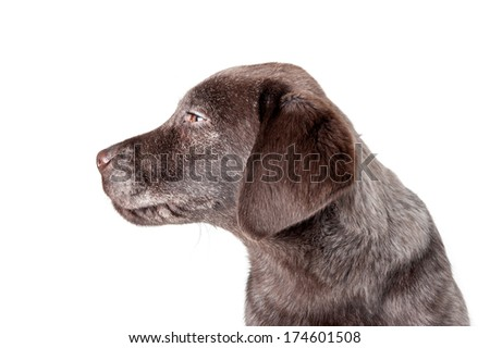 Puppy labrador retriever dog close up portrait isolated on a white background.  - stock photo
