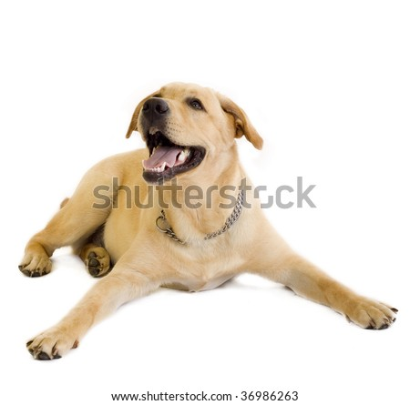 Puppy Labrador retriever in front of white background and facing the camera