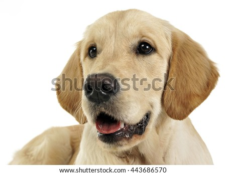 Puppy labrador retriever in the white studio