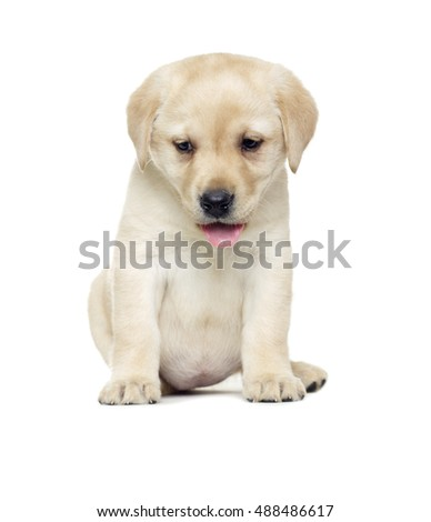 Puppy Labrador retriever looking