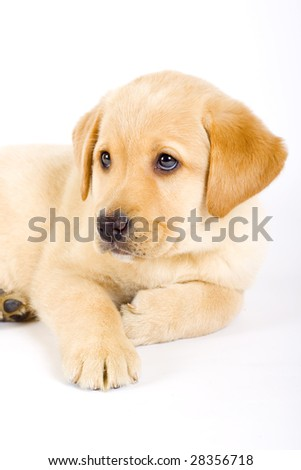 Puppy Labrador retriever on white background