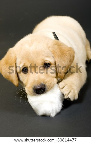 puppy labrador retriever playing with fur ball