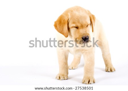 Puppy Labrador retriever with eyes closed