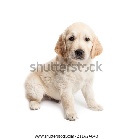 Puppy labrador sitting and posing isolated on white background