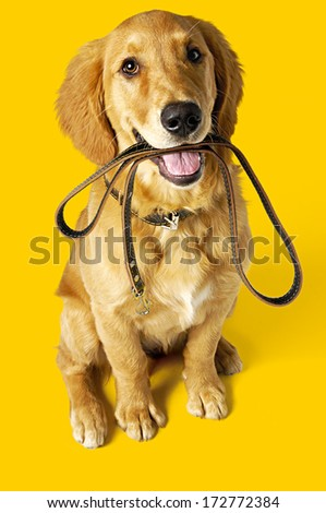 Puppy labrador with leash - stock photo