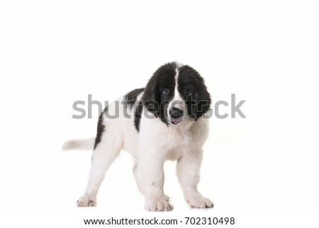 puppy landseer pure breed in studio white backrground