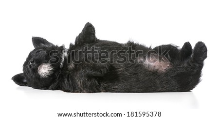 puppy laying upside down on back - scottish terrier 4 weeks old - stock photo