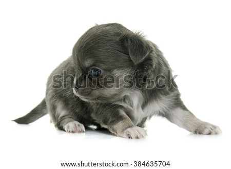 puppy longhair chihuahua in front of white background