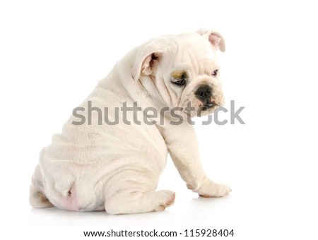 puppy looking over shoulder - english bulldog puppy looking over shoulder - 11 weeks old - stock photo
