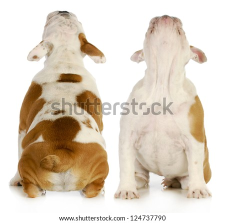 puppy looking up from the front and back view - english bulldog - stock photo