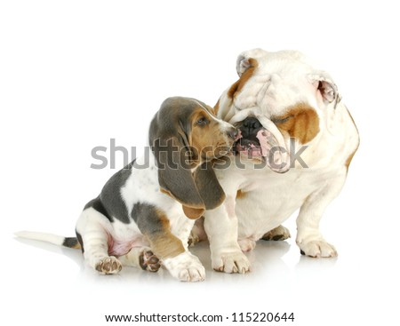 puppy love - cute basset hound and english bulldog together on white background - stock photo