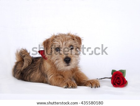 Puppy lying beside a red rose - stock photo