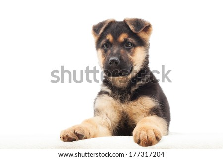 puppy lying on a blanket on a white background isolated