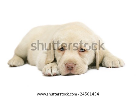 Puppy, lying on a white background.