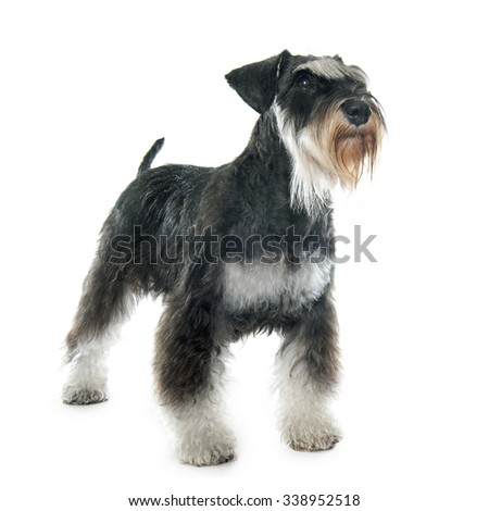 puppy miniature schnauzer in front of white background - stock photo