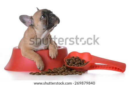 puppy nutrition - french bulldog inside a dog bowl on white background - stock photo