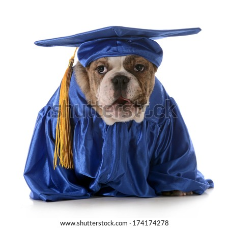 puppy obedience - english bulldog wearing graduation costume isolated on white background