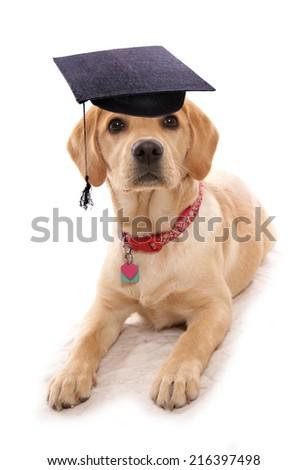 puppy obiedience school dog wearing mortar board hat - stock photo