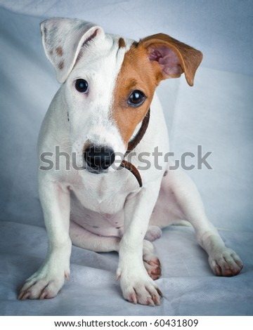 Puppy of a dog in studio against a white background. A Jack Russell terrier is a dog with a high level of energy. - stock photo