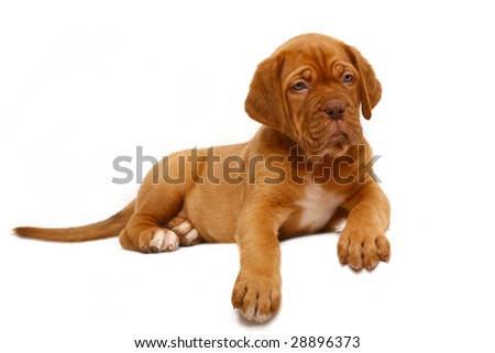 Puppy of breed a mastiff from Bordeaux.