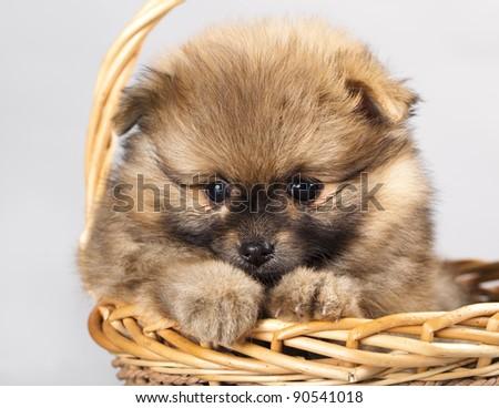 Puppy of breed a Pomeranian spitz-dog in studio - stock photo