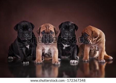 puppy of breed Cane Corso - stock photo