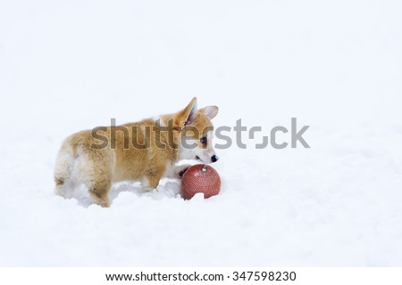 Puppy of breed of the Welsh Corgi play on snow with a small ball