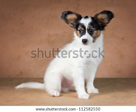 Puppy of breed papillon on a  beige background