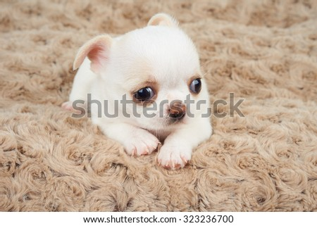 Puppy of Chihuahua on beige pet mat               - stock photo